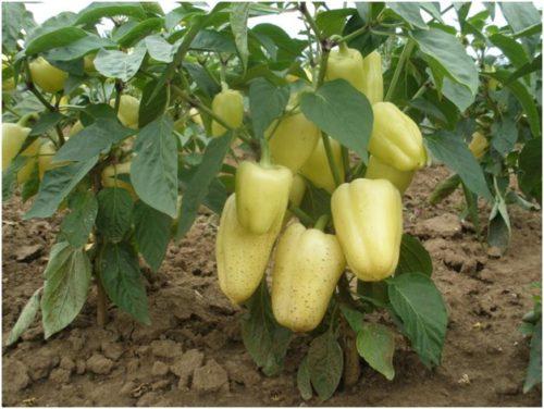 Перец Бизон желтый
