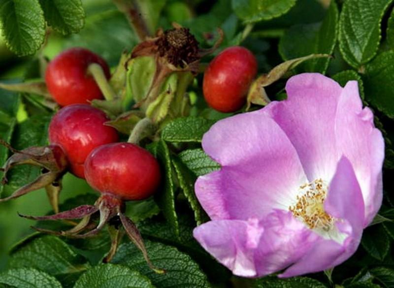 Шиповник витаминный цветок